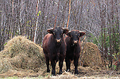 Two beef animals standing beside pile of hay