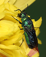 Cuckoo Wasps are a group of mostly small, stinging wasps. Cuckoo wasps are brilliant metallic blue, green, or reddish in color.