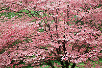Profusion of pink dogwood blooms, Conus florida, on spring tree