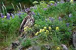 Immature bald eagle, Unalaska Island, Alaska