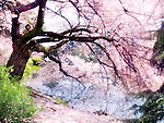 Blossoming cherry tree branches touching water with artistic light bloom effect. Shinjuku Gyoen National Garden in Tokyo, Japan.