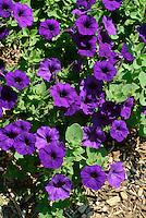 Petunia xhybrida (Blue Wave), Nightshade Family, flower garden, flowering plants, botany.Phil Degginger