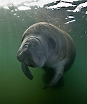 Florida Manatee, Crystal River, FL