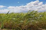 A crop of sugar cane on the island of Maui, Hawaii