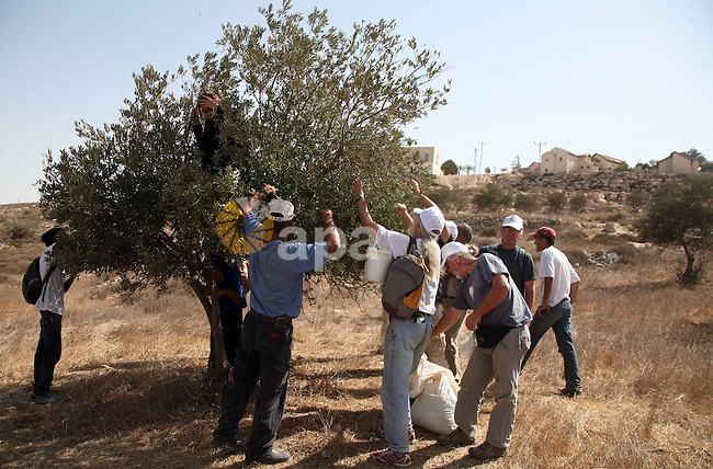 Palestinians and International supporters harvest olives near the Jewish settlement of Otniel outside the West Bank city of Hebron on October ,19 2010. Photo by Najeh Hashlamoun