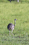 South America, Brazil, Pantanal.  The Greater Rhea, the largest (flightless) bird of the Americas, in the Pantanal.