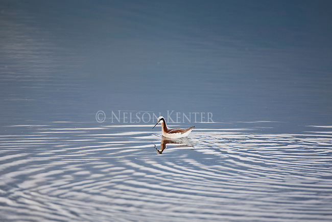 Wilson's Phalarope in a pond in the Bitterroot Valley in Montana