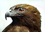 Syd is a red-tailed hawk permanantly on display at the Wildlife Care Center of the Portland Audubon.  She was struck by a car and didn't heal properly keeping her from being again released to the wild....