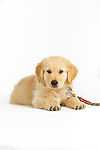 Golden Retriever Puppy Cooper