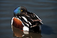Northern Shoveler resting on the water