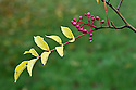 Berries and autumn foliage of Zanthoxylum simulans, end October.