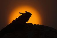 Texas Horned Lizard (Phrynosoma cornutum), adult at sunset, Rio Grande Valley, Texas, USA
