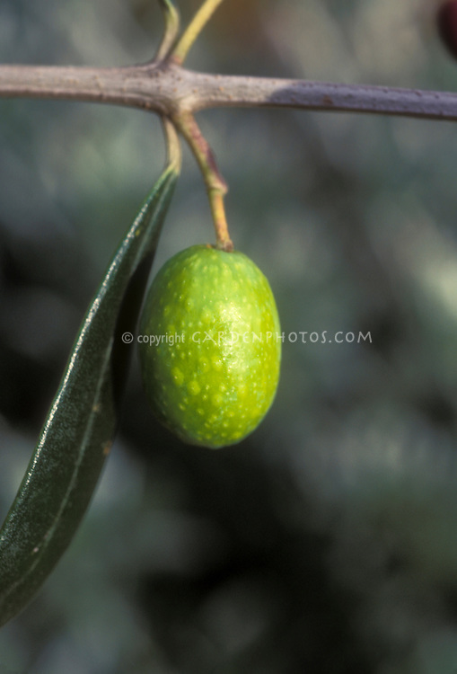 Olea europea Olive fruit (Spanish Olive on tree branch with leaf)