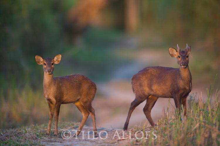 India, Kaziranga National Park, Young male and female hog deer (Axis porcinus)