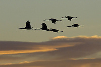 Sandhill Cranes in flight at Bosque Del Apache NWR