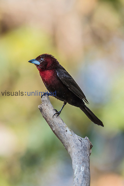 Silver-beaked Tanager (Ramphocelus carbo), Pantanal, Mato Grosso, Brazil.