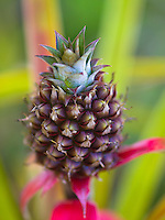 A close-up of a baby pineapple in a garden, Hilo, Big Island of Hawai'i.