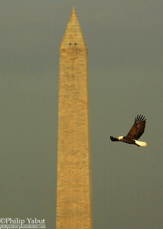 A bald eagle flies in front of the Washington Monument