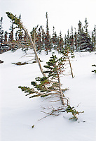 Young evergreen trees after fresh snowfall along the trail to Lake Helene, Rocky Mountain National Park. November 19, 1998.