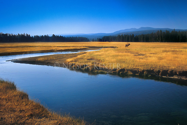 A scenic view in Yellowstone National Park is enhanced by a lone Bull Elk passing through the meadow