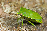 Green Stink Bug (Chinavia hilaris), Hemiptera, Heteroptera, Pentatomidae, New Hampshire, USA