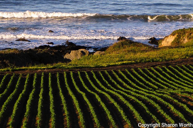 On an early March morning, rows of new crops green up a field next to the Pacific Ocean on California's Central Coast.