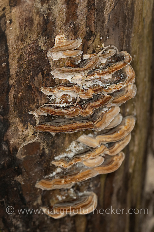 Schmetterlingstramete, Schmetterlings-Tramete, Bunte Tramete, Schmetterlingsporling, Schmetterlings-Porling, Pilzgruppe an Totholz, Trametes versicolor, Coriolus versicolor, Polyporus versicolor, Turkey Tail