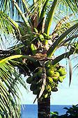 Coconuts<br />
