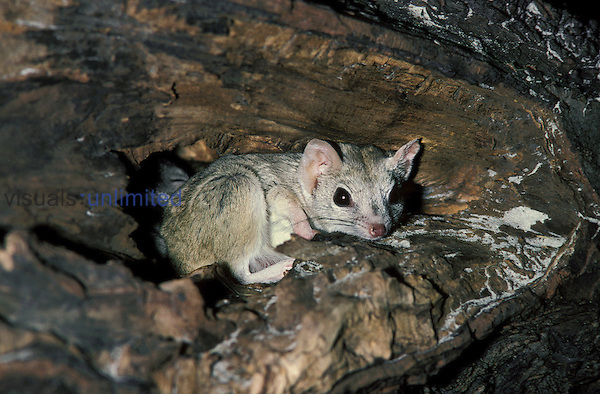 Kowari or Brush-tailed Marsupial Rat  (Dasyuroides byrnei), native to Australia