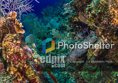 27 July 2015: A Spotted Moray Eel (Gymnothorax moringa) emerges from a coral outcropping at School House Reef, on the North side of Grand Cayman Island. Located in the British West Indies in the Caribbean, the Cayman Islands are renowned for excellent scuba diving, snorkeling, beaches and banking.  Mandatory Credit: Ed Wolfstein Photo *** RAW (NEF) Image File Available ***
