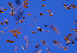 Orange Monarch butterflies flit and flutter against a blue sky. Falling alarmingly in recent years, their numbers have seemed to have rebounded in their Mexican wintering grounds in 2016.