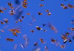Monarch butterflies in flight, Mexico.