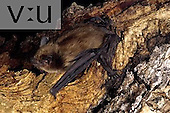 A Big Brown Bat (Eptesicus fuscus) Burro Mountains, New Mexico