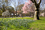 New York City, New York: Spring time with blossoms in Central Park  .Photo #: ny266-14726  .Photo copyright Lee Foster, www.fostertravel.com, lee@fostertravel.com, 510-549-2202.
