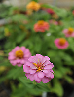 NWA Democrat-Gazette/ANDY SHUPE<br /> Flats of zinnias sit Thursday, April 20, 2017, during the Fayetteville High School plant sale in the school's greenhouse. The plants were grown by students in plant science and greenhouse management classes to benefit those courses and the school's National FFA Organization program.