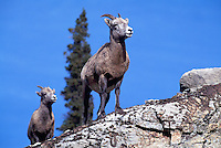 Rocky Mountain Bighorn Sheep Ewe and Lamb (Ovis canadensis), Jasper National Park, Canadian Rockies, AB, Alberta, Canada