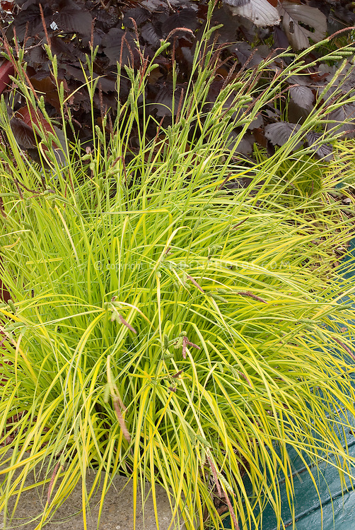carex elata aurea gold foliage plant flower stock