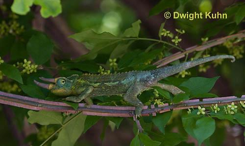 CH36-542z  Male Jackson's Chameleon or Three-horned Chameleon, Chamaeleo jacksonii