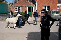 A policewoman watches as students lead alpacas past Nick Clegg's election entourage during a visit by the Liberal Democrat party leader to an agricultural college in Chippenham, Wiltshire...