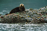 Sea otter sits atop a kelp covered rock, Tongass National Forest, Alaska, USA
