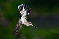 Female Magnificent Hummingbird - in flight acrobatics