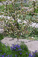 Small spring flowering tree/shrub crabapple Malus 'Excalibur' in bloom with Campanula blue flowers