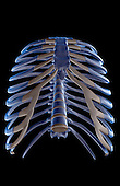 An inferior anterior view of the thoracic cage. Royalty Free