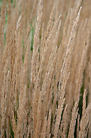 Calamagrostis × acutiflora 'Karl Foerster' (Feather reed grass)