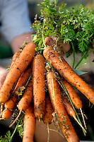Freshly Pulled Organic Carrots
