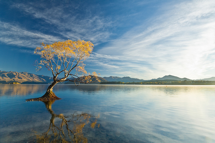 Iconic Willow tree in water at Lake Wanaka, sunrise, New Zealand - stock photo, canvas, fine art print
