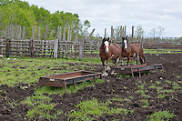 Clydesdale horses are seen on a farm in Saint-Laurent, Manitoba Sunday May 29, 2011. The Clydesdale is a breed of draft horse derived from the farm horses of Clydesdale, Scotland, and named after that region.