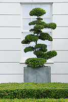 Buxus boxwoods as hedge and evergreen topiary clipped form against white house and window, specimen plant