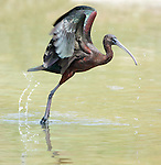 Glossy Ibis, Plegadis falcinellus, Lesvos, Greece, common spring migrant, taking off, flying, flight , lesbos