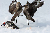 Skua fighting over which gets to scavenge a Penguin killed by a Leopard Seal.